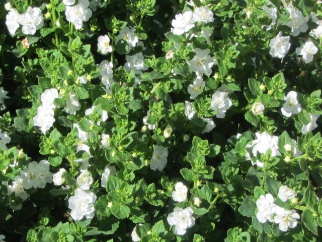 bacopa double white