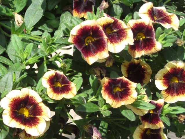 calibrachoa banana chocolate